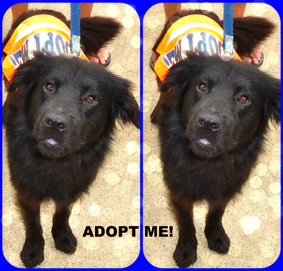 Fonzi, Spaniel/Chow Chow Mix - Pet Adoption