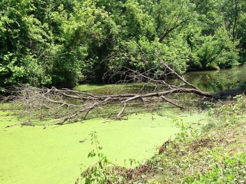 Tree in algae
