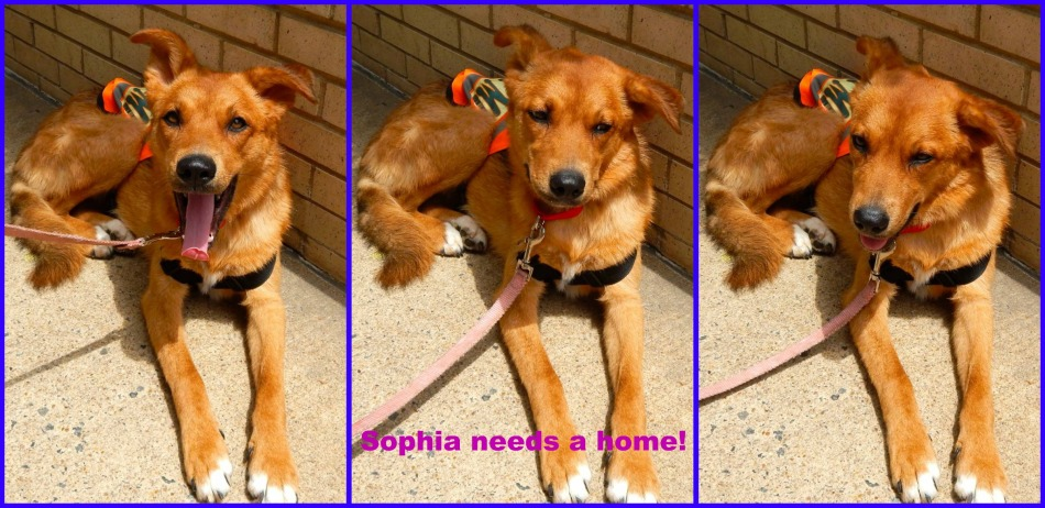 Sophia, Shepherd Mix - Pet Adoption