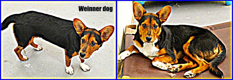Calliope (Australian Cattle dog/hound), 8 months-old - Pet Adoption