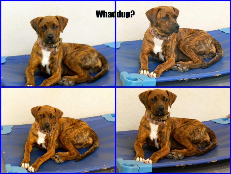 Brandy (Boxer/Hound mix), 5 months - Pet adoption