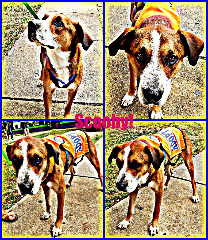 Scooby - Pet Adoption