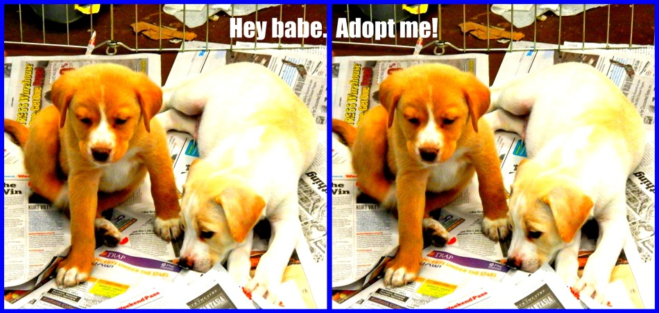 Munchkin puppies - Pet Adoption