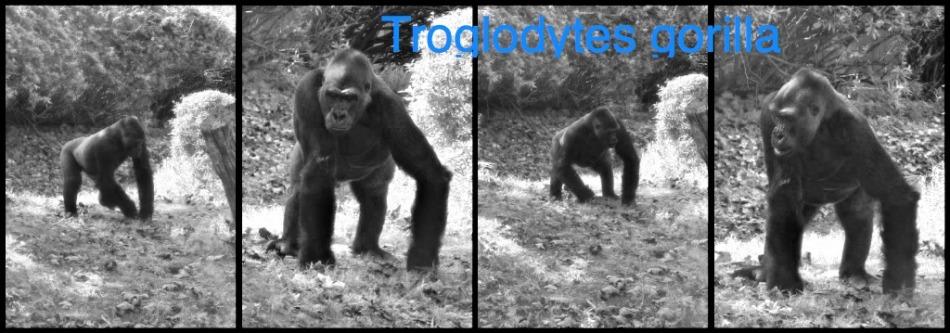 Male Gorilla trouncing aroud