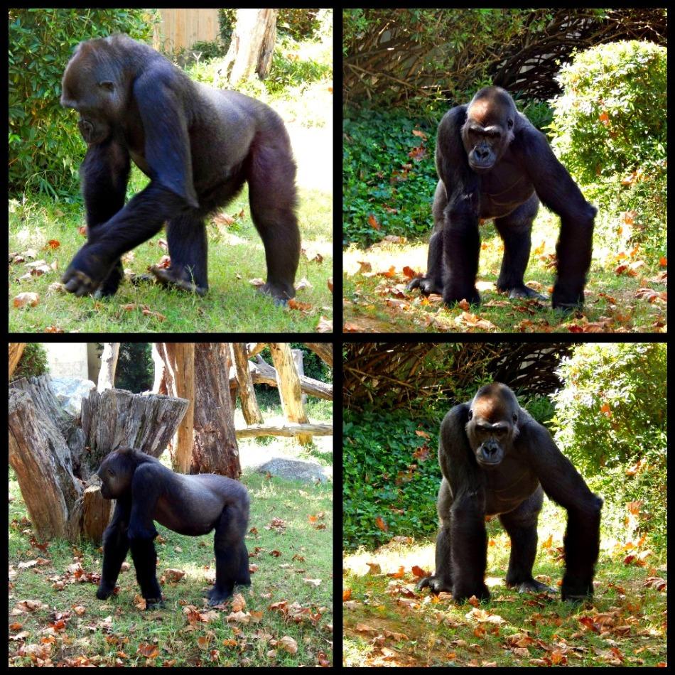 Male and Female Gorilla