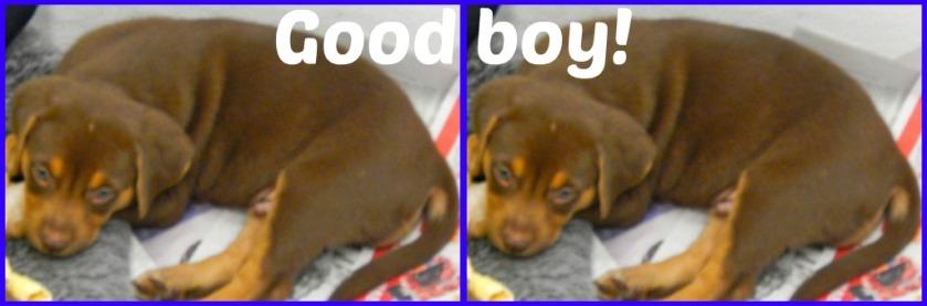 Puppies Eight-weeks