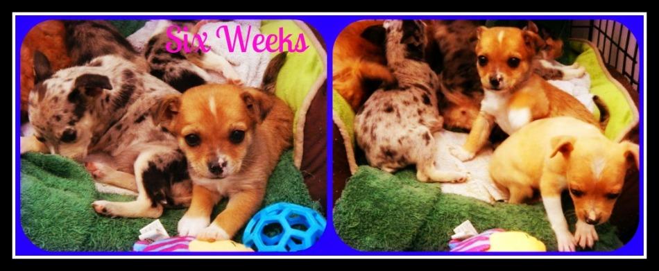 Puppies six-weeks old!