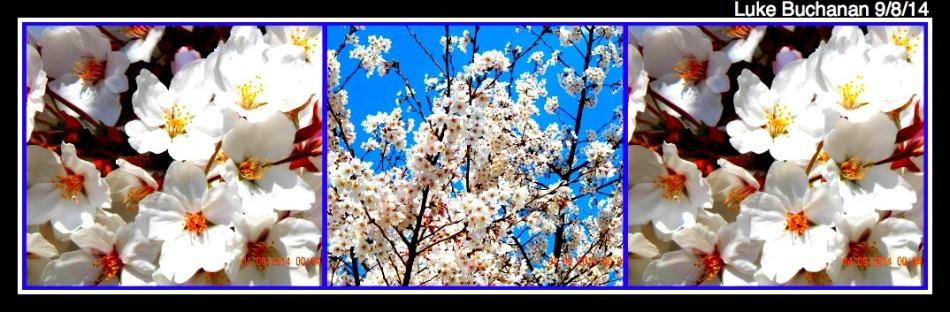 Cherry Blossom Festival 2014 - White Pedals